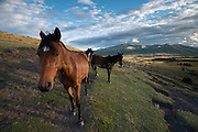 Horses graze in a field at surnise high up in the Sierra, Andes Mountains of Ecuador.