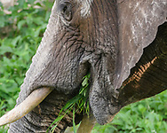 Elephant chews grass and leafy plants from along the bank of the Chobe River, Botswana. The white on its forehead and trunk is from chalky dirt it rubbed, in. © 2019 David A. Ponton