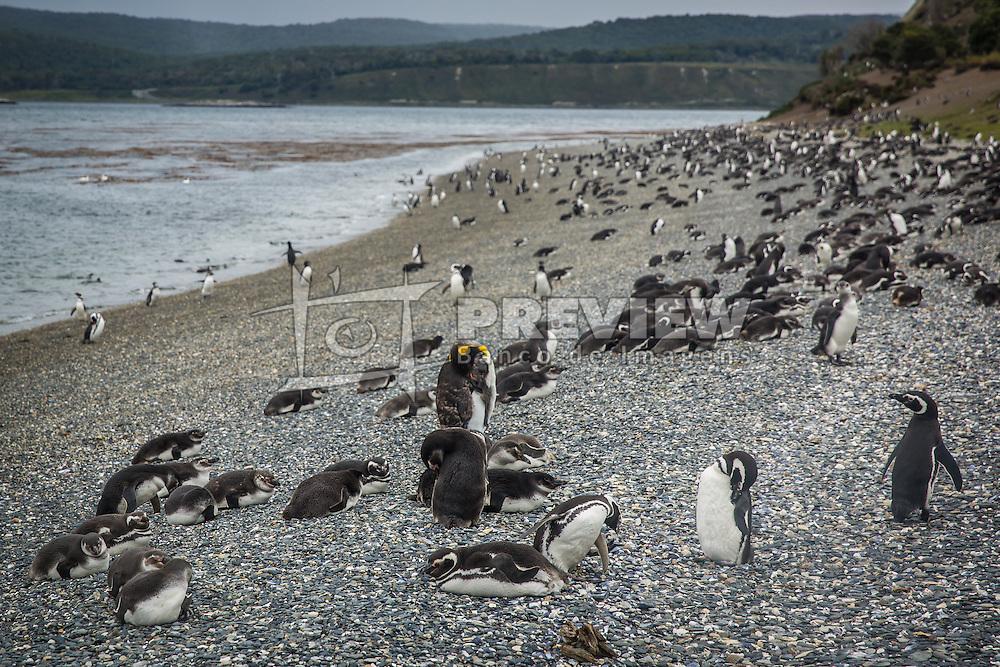 A Isla Martillo, mais conhecida como Pinguinera, é uma ilha do Canal de Beagle procurada pelos pinguins em seu período de reprodução. FOTO: Jefferson Bernardes/ Agência Preview
