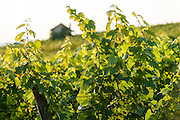Wingerthäuschen, Weinberge Groß-Umstadt, Odenwald, Naturpark Bergstraße-Odenwald, Hessen, Deutschland | cottage in vine yards Groß-Umstadt, Gross-Umstadt, Odenwald, Hesse, Germany