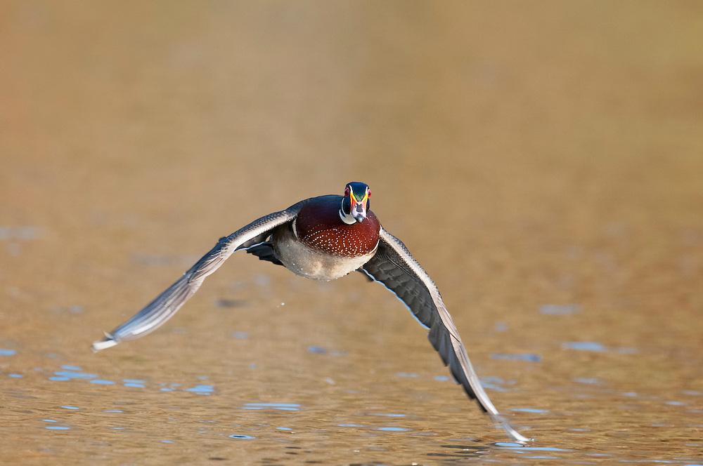 Wood Duck, Aix sponsa, male, Lake County, Ohio