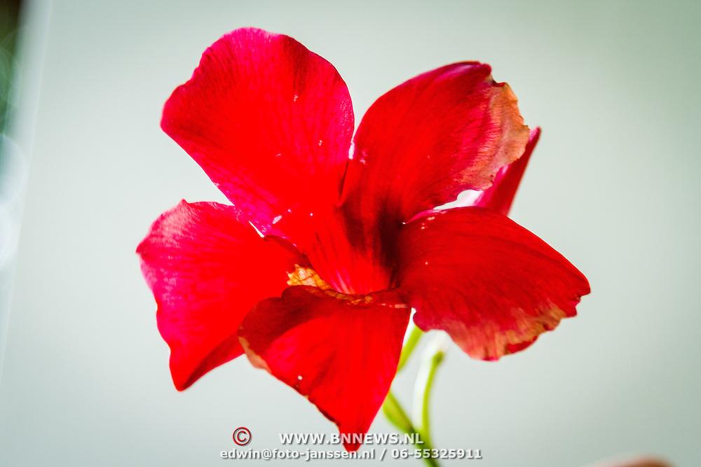 THA/Bangkok/20160729 - Vakantie Thailand 2016 Bangkok, Thaise bloem
