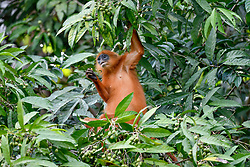 A red leaf monkey eats bangkular fruits in Danum Valley Conservation Area, on August 5, 2019 near Lahad Datu city, State of Sabah, North of Borneo Island, Malaysia. Palm oil plantations are cutting down primary and secondary forests vital as habitat for wildlife including the critically endangered red leaf monkeys. Photo by Emy/ABACAPRESS.COM