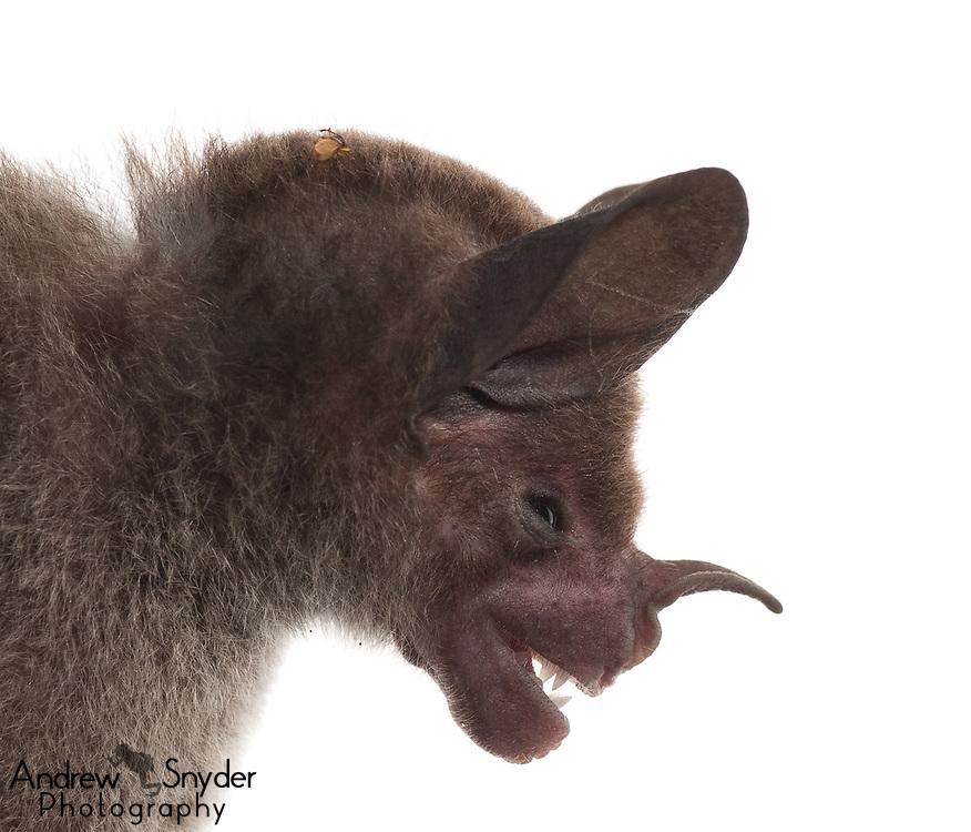 Pale-faced bat (Phylloderma stenops) - Guyana