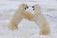 Polars Bears