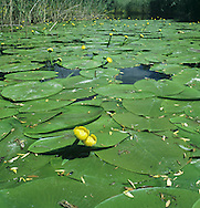 YELLOW WATER-LILY Nuphar lutea (Nymphaeaceae) Aquatic<br /> Water plant of still or slow-flowing freshwater to a depth of 5m. Tolerates partial shade and nutrient-rich waters. FLOWERS are 6cm across, yellow and alcohol-scented; on stalks that rise well above the waters' surface (Jun-Sep). FRUITS are flagon-shaped and smooth. LEAVES are up to 40cm across and leathery; unlike White Water-lily, basal lobes usually touch or overlap. STATUS-Widespread and locally common.