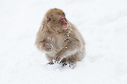Snow monkey, juvenile in snow 4.