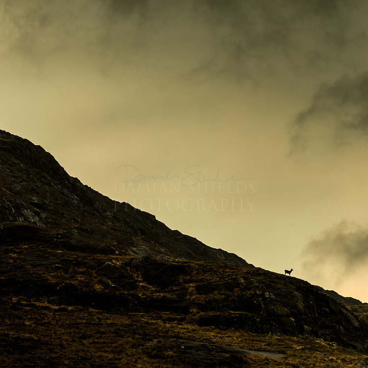 Red deer, Cuillin and Camasunary, Isle of Skye