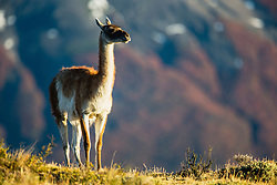A guanaco (Lama guanaco) standing in the morning sun on a hillside in Patagonia,Torres del Paine, Patagonia, Chile