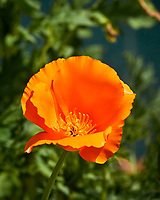California Poppy Flower. Image taken with a Nikon N1V3 camera and 70-300 mm VR lens.