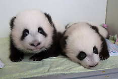 OCT 22 2013 Twin giant panda cubs