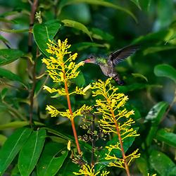 """""""Beija-flor-safira (Hylocharis sapphirina) fotografado em Linhares, Espírito Santo -  Sudeste do Brasil. Bioma Mata Atlântica. Registro feito em 2013.<br /> <br /> <br /> <br /> ENGLISH: Rufous-throated Sapphire photographed in Linhares, Espírito Santo - Southeast of Brazil. Atlantic Forest Biome. Picture made in 2013."""""""