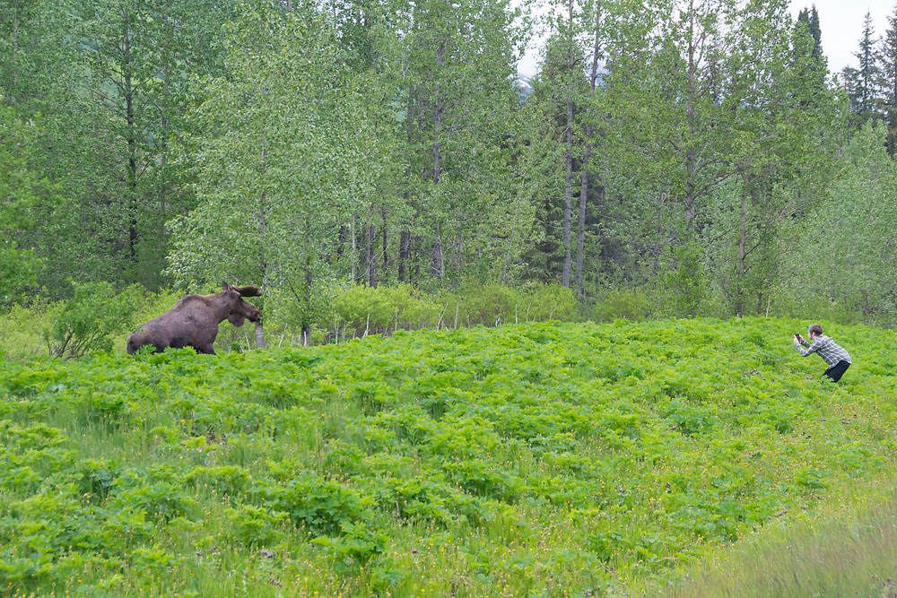 A photographer approaches a bull moose and puts themselves in danger. People are injured or killed nearly every year.