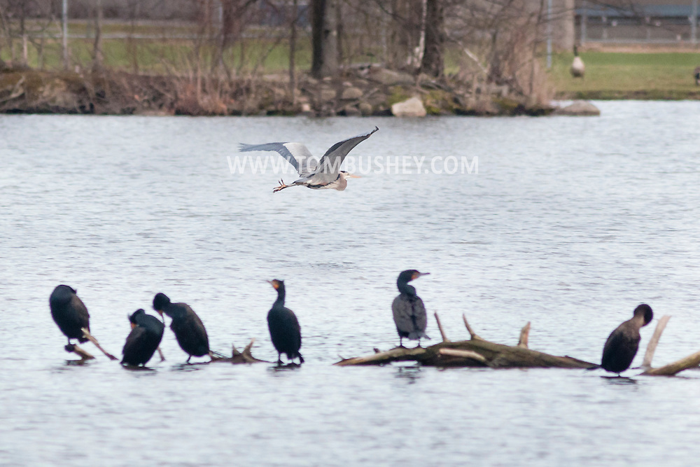 Middletown, New York - A heron flies past double-crested cormorants gathered on a tree trunk in the lake at Fancher-Davidge Park on April 23, 2015.