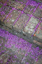 Fallen petals of Cercis siliquastrum at Glebe Cottage. Judas tree
