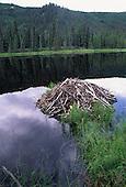 Wildlife: Beaver