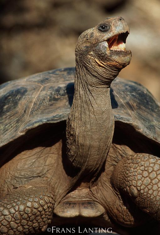 Giant tortoise yawning, Geochelone nigra, Alcedo Volcano, Isabela Island, Galapagos Islands