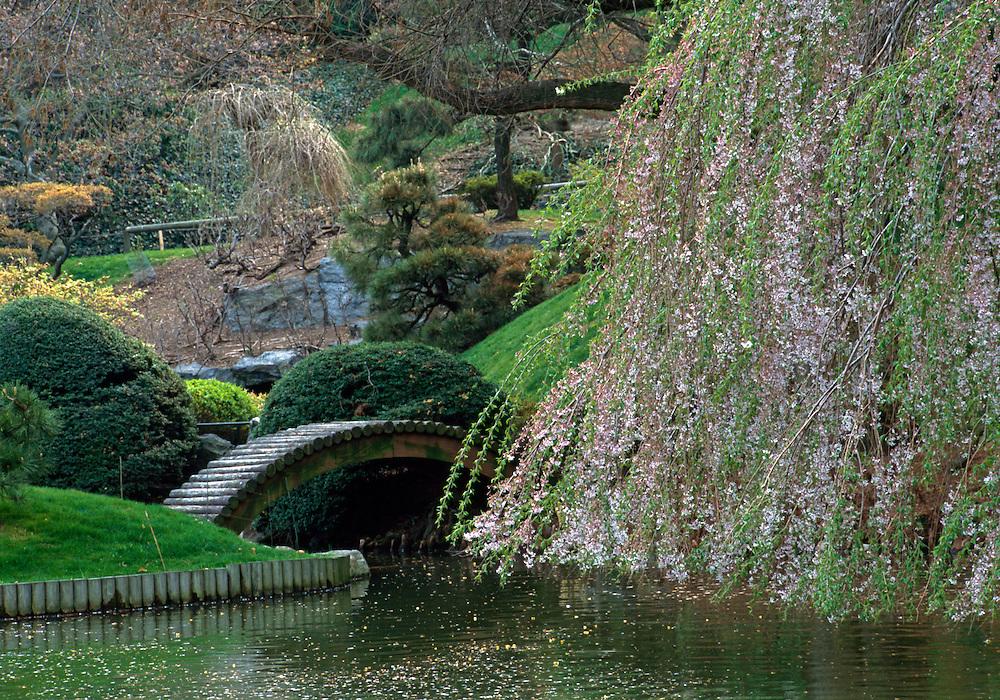 Cherry Blossoms, Brooklyn Botanic Garden, Brooklyn, New York, Japanese Hill and Pond Garden, bridge, Trees in Bloom