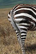 Africa, Tanzania, Serengeti National Park Herd of Zebras