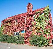 Virginia Creeper in autumn, Parthenocissus quinquefolia, covering house, Snape Maltings, Suffolk, England