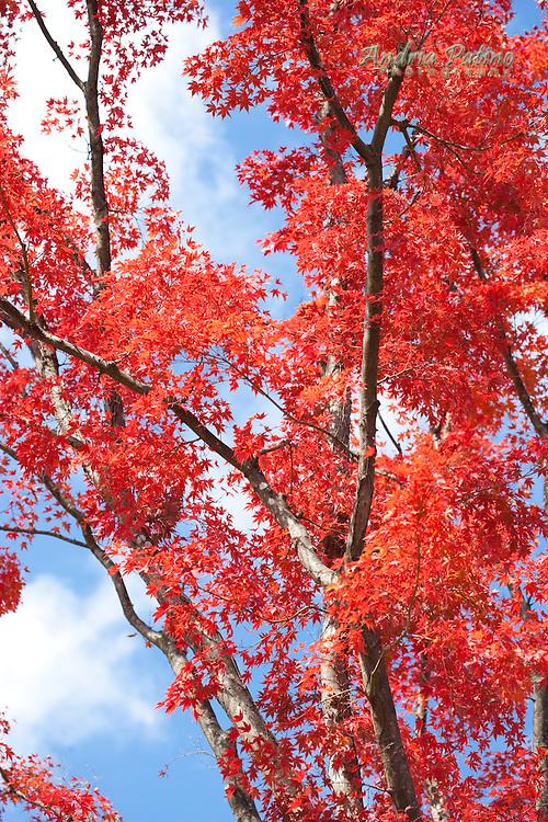 Red Japanese Maple tree, Honshu, Japan