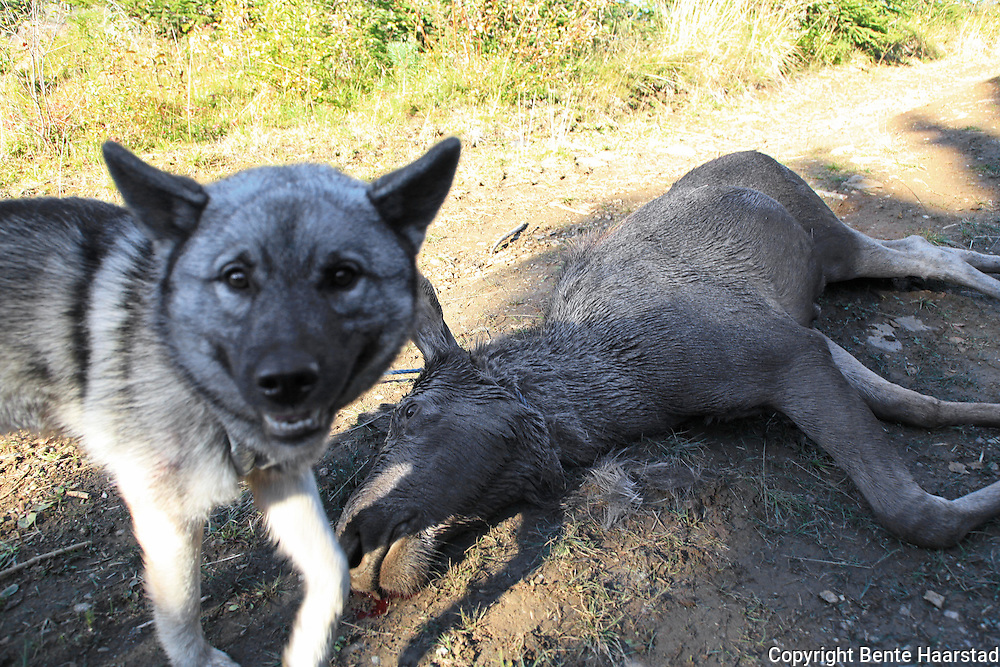 Norwegian Elkhound, grey. Norsk elghund grå.