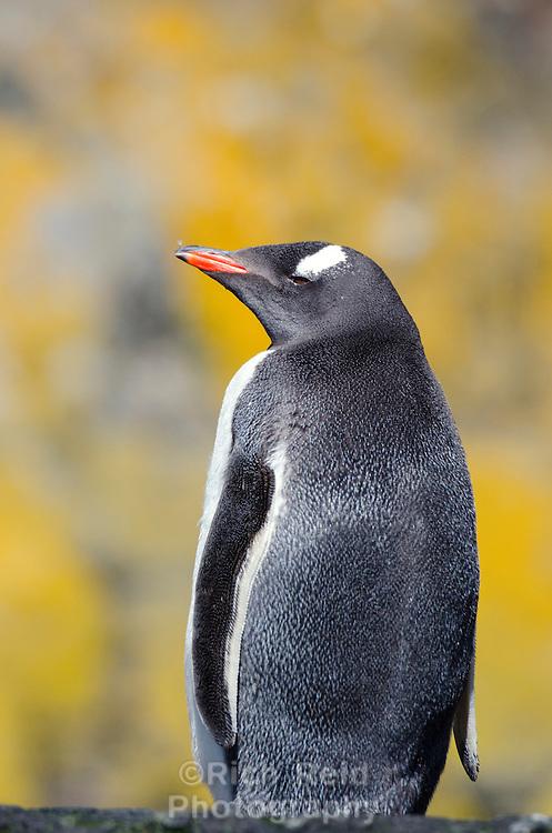 Gentoo penguin in Hercules Bay on South Georgia Island.