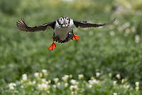 Papageitaucher im Flug, Farne Islands, England