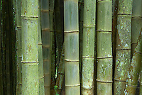Indonesie, Flores, Bambou // Indonesia, Flores, Bamboo