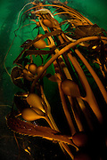 A kelp forest in monterey,