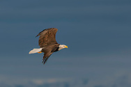 Bald eagle in flight, with stormy sky background, © 2005 David A. Ponton