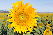 Flowering sunflower in field in morning sun near Ryeford, Queensland, Australia <br />