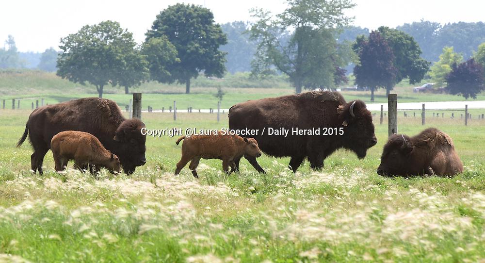 Laura Stoecker/lstoecker@dailyherald.com<br /> Baby bison at FermiLab in Batavia.