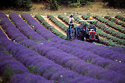 France, two farmers harvesting lavender in Provence