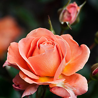 Coloma Rose Garden, Belgium Stock Photos
