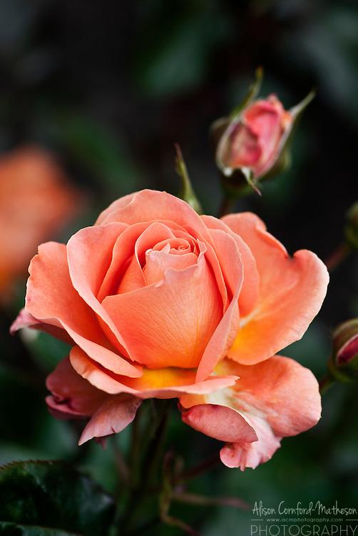 Rose Tatton
