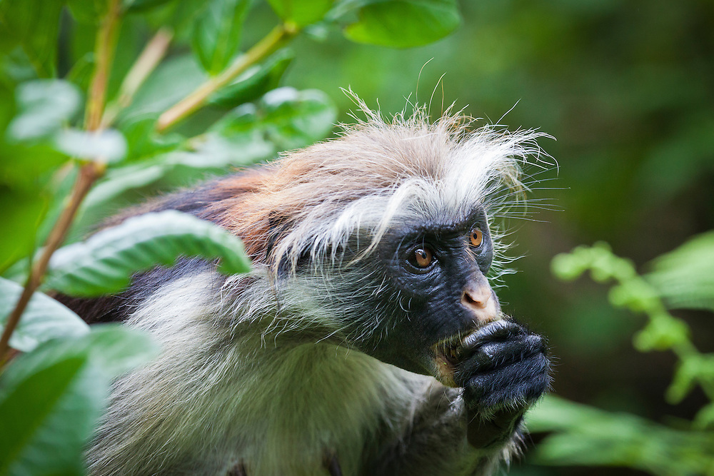 Jozani Forest- this is a Zanzibar Red Colobus monkey. They only exist on Zanzibar and are one of the rarest monkeys in Africa. of the rarest monkeys in Africa.