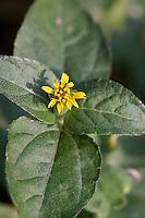 Lawn-flower, Calypocarpus vialis, Travis County, TX