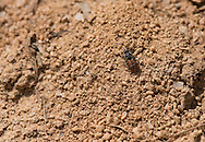 A Cuckoo Bee (Holcopasites calliopsidis) surveys the nest of a potential host species (Lasioglossum sp), Pickens, South Carolina, USA