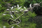Great Egret Rookery with anhinga and turtles
