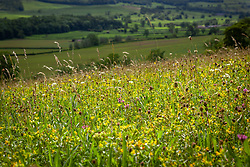 Meadow with yellow rattle. Yorkshire. Rhinanthus minor