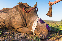 A successfully dehorned white rhino.  The horn stumps are treated against infection. Dehorning is sadly only a temporary measure against poaching. Horns do grow back and it takes between 18 and 24 months before the animal needs to go through the same procedure again.