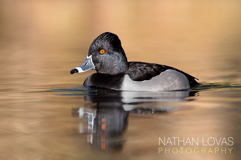 Ring-necked duck male  with reflection;  Arizona.