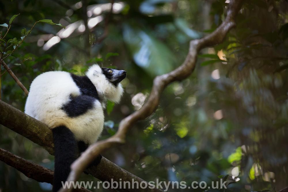 Varecia variegata - Black and White Ruffed Lemur in the Rainforest.