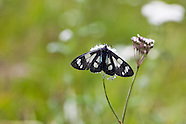 Gnophaela latipennis - Sierra Pericopid