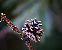 Lone pine cone after a light snow. Images taken with a Nikon D700 camera and 80-400 mm VR lens (ISO 1600, 400 mm, f/5.6, 1/160 sec)