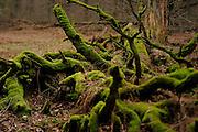 Coarse woody debris comes from natural tree mortality. Here fallen dead oak trees. Woodland Kellerwald. The Kellerwald lies in northern Hesse, Germany