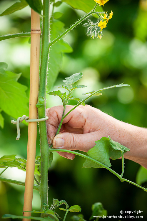Pinching out tomato side shoots to encourage more fruit formation.