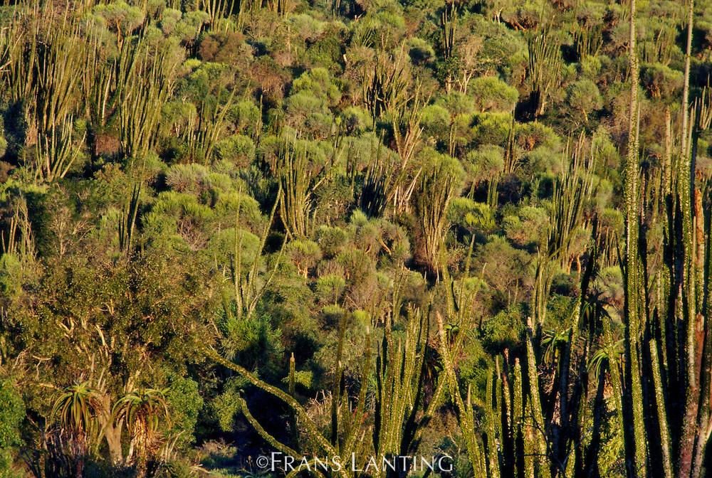 Alluaudia trees in spiny desert, Alluaudia procera, Southern Madagascar