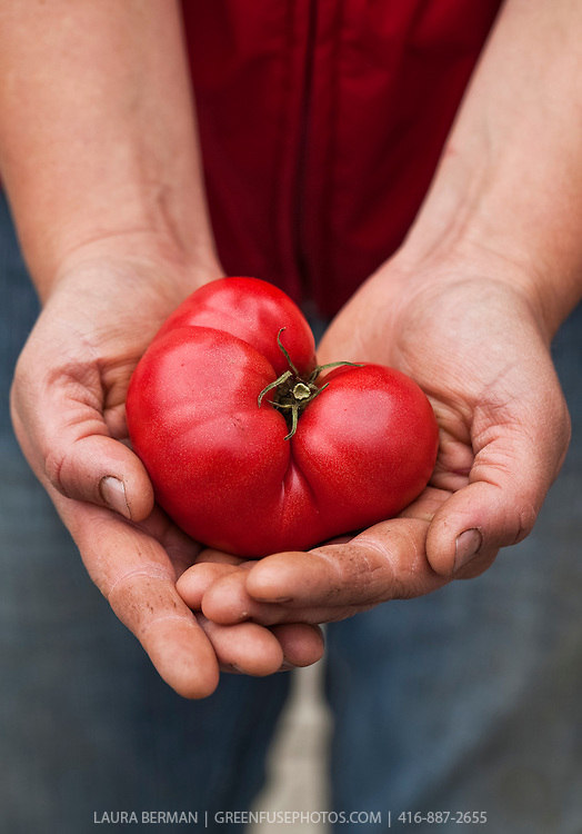 Brandywine tomato in a farmer's<br />  hands